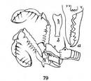 Albertops robustus