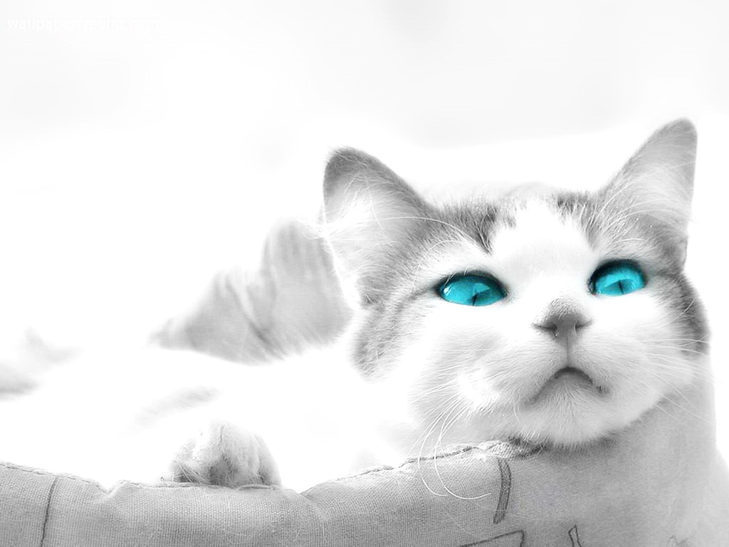 White Baby Kittens With Blue Eyes Image - White-cats-with-blue-