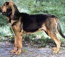 Bluthund