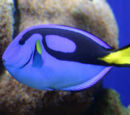 Rory the Regal Blue Tang