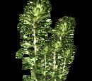 Kelp (HENDRIX)