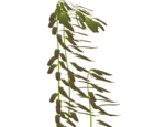 Northern Giant Kelp (Eryel)