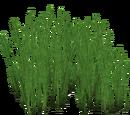 Caulerpa taxifolia (Nessich)