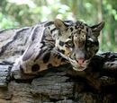 Puuleopardi