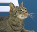 Tiger (Cat)