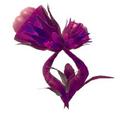 Rosa Rosae (planta)