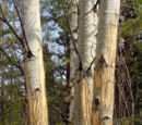 Ветви павших