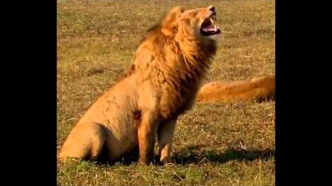 *JOKE* laughing lion lol