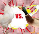 The Chicken war