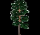 Scots Pine (Bunteriro)