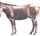 Argentine Draft Horse