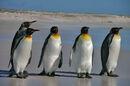 Pinguine auf der Falkland-Insel.jpg